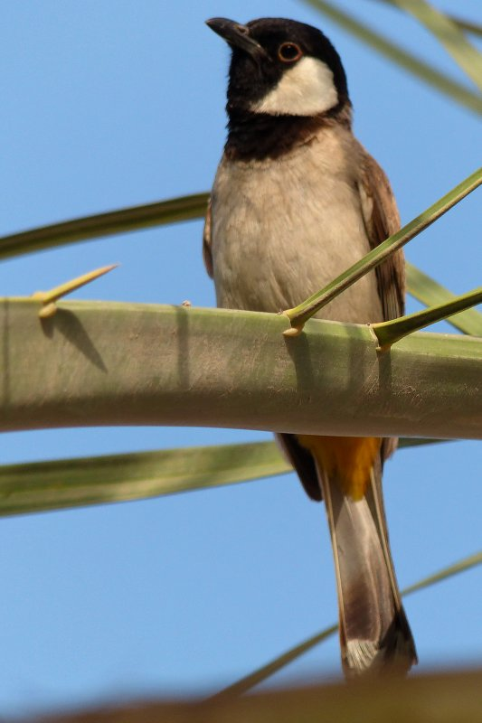Bulbul  oreillons blancs