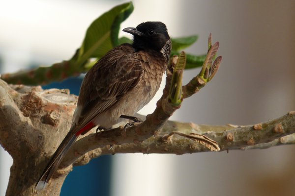 Bulbul  queue rouge